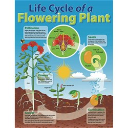 Chart - Life Cycle of a Plant