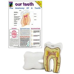 Tooth Cross-Section Model + Chart