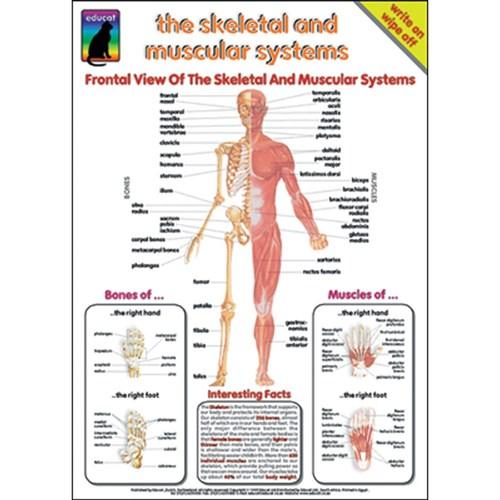 ZESEDT-2986 - Chart - Skeletal and Muscular Systems - Kookaburra ...