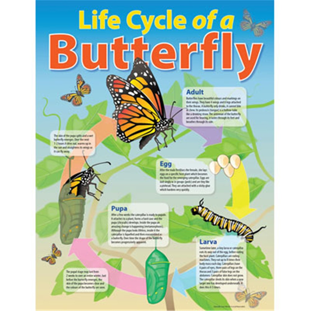 Ch6355 Chart Life Cycle Of A Butterfly Kookaburra